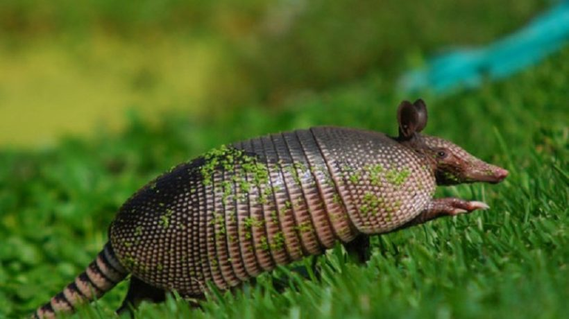 What do armadillos eat?