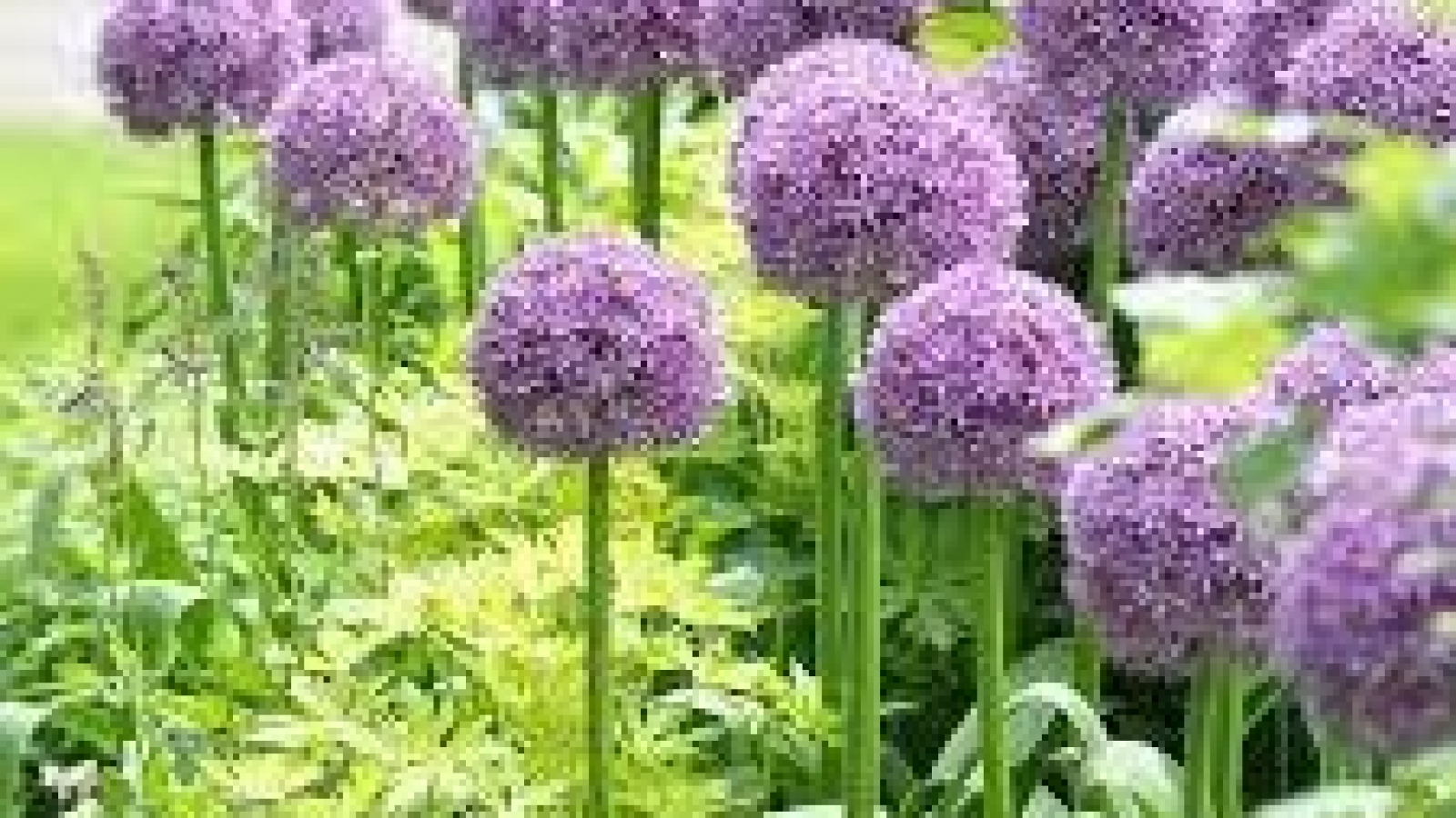 Some-of-the-Most-Popular-Alliums-to-Add-to-your-Garden2