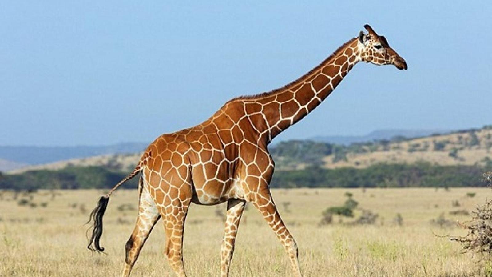 why do giraffes have long necks